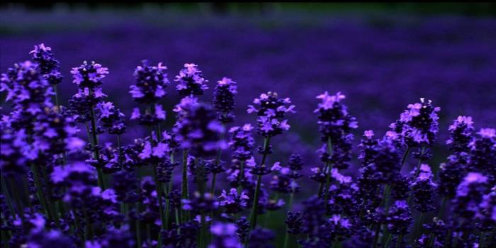 lavender-a