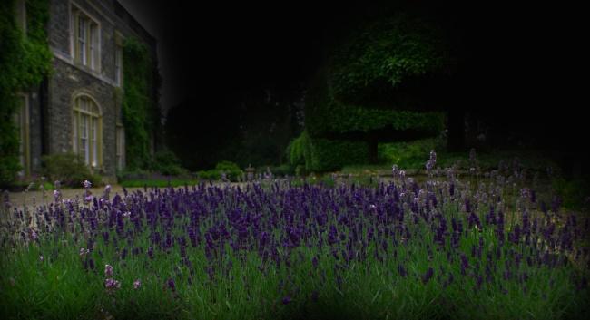 lavender11